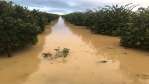 Adana'da yoğun yağmur naranciye bahçelerini vurdu