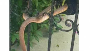 Apartman girişine dolanan 1 buçuk metrelik yılan böyle kurtarıldı