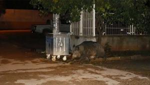 Aç kalan yaban domuzu Adana'da şehre indi
