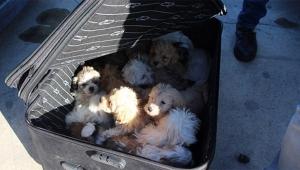 Yolcu valizinden 14 köpek yavrusu çıktı