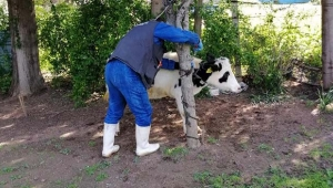 Korona tehlikesine karşı hayvanlar da aşılanıyor