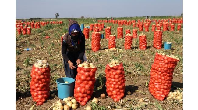 Adana'da turfanda soğan hasadı başladı