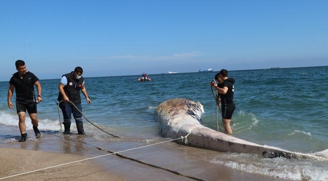Mersin'de ölü balina