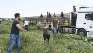 CHP'li gençler karpuz hasadı yaptı