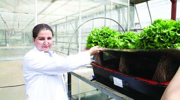 Adana'da topraksız marul yetiştiriliyor