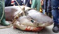 Mezgit İçin Atılan Ağa Köpekbalığı Takıldı