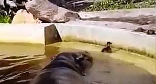 Su aygırları, yavru ördeği annesine kavuşturdu