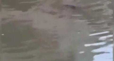 Nehirden çıkan timsahlar sokaklarda avlanıyor