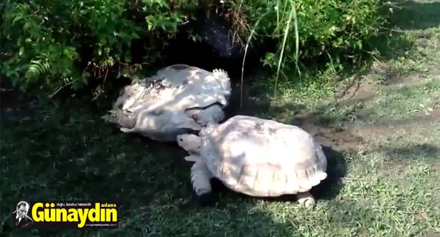 Kahraman kaplumbağa arkadaşını böyle kurtardı!
