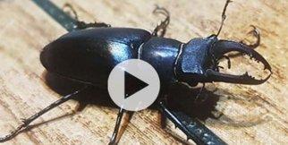 Geyik böceği, Türkiye'de ilk defa görüldü