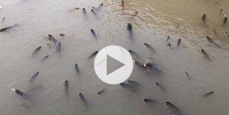 Balıklar havasızlıktan telef oluyor